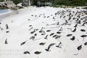cape-point-penguins-21