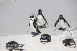 cape-point-penguins-26