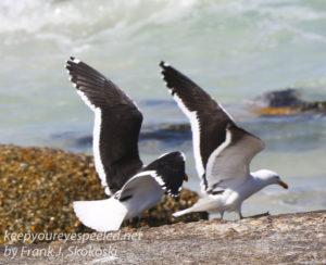 cape-point-penguins-35