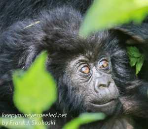 baby-gorilla-1