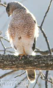cooper's hawk -2