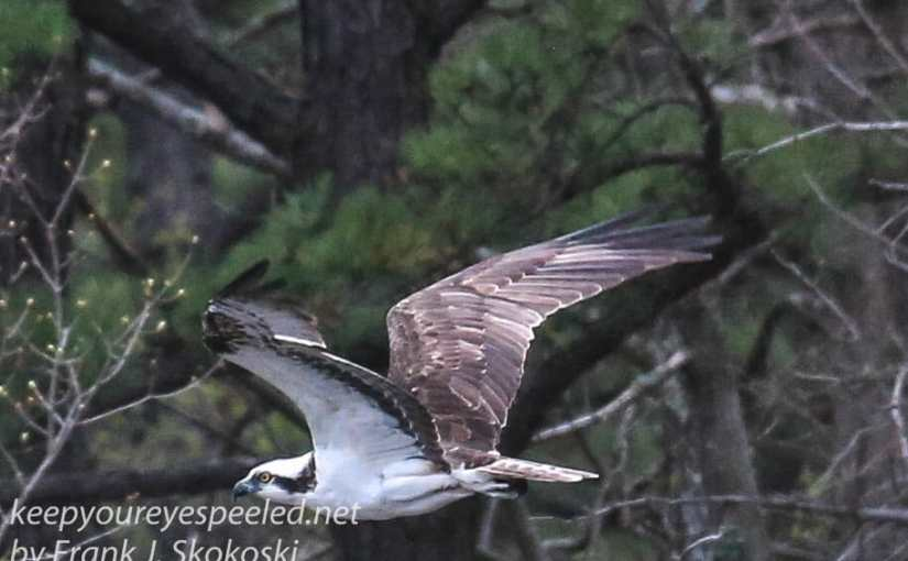 A Short Hike Out Community Park. No Bald Eagles So I Had To Settle For An Osprey
