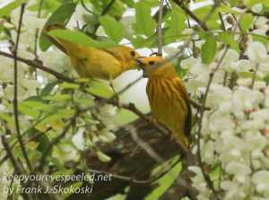 yellow warblers -8