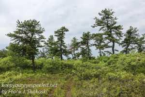 pitch pine barrens -27