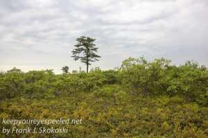 pitch pine barrens -39