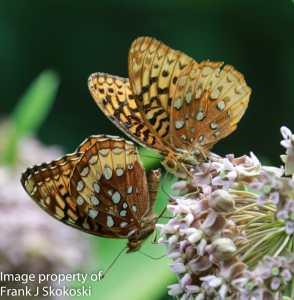 butterflies on milkweed flowers