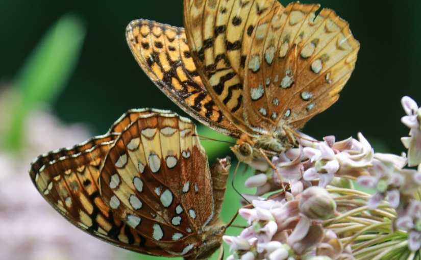 Milkweed,  Butterflies And A Mushroom : A Hike  On The Black Diamond Trail.