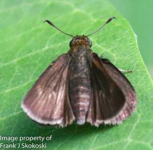 Horace's dusky wing butterfly