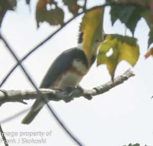 belted kingfisher on tree branch