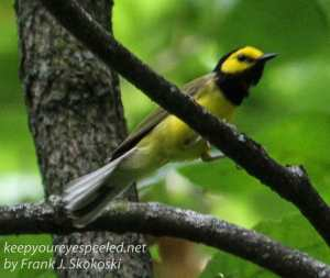 hooded warbler perched on branch