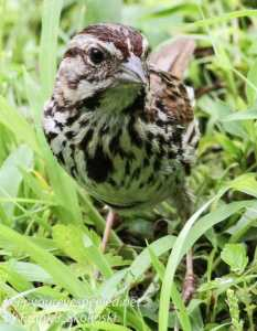 song sparrow in grass