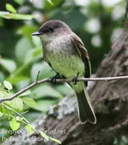 flycatcher on branch