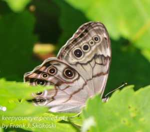 common buckeye butterfly on leaf