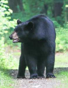 black bear on path