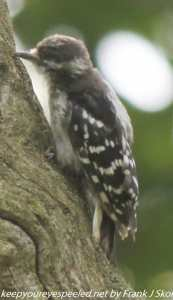 juvenile woodpecker on tree