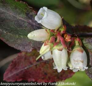 tea berry flowers