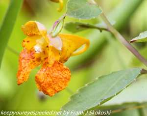 jewel weed flower
