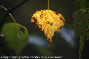 yellow white birch leaf