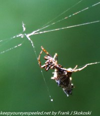 spider on web with trapped insect