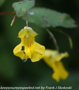 touch-me-not or jewelweed with rain drop