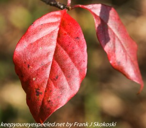 bright red bluebery leaves