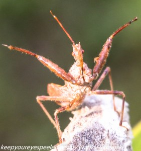 close up wheel bug on milkweed pod