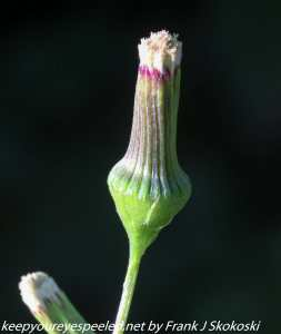 close up of wild flower bud