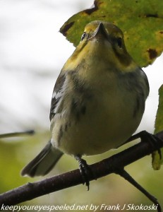 black throated green warbler on tree branch