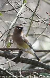 cedar waxwing in tree branch