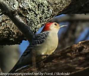 red-bellied woodpecker on tree limb
