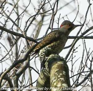 flicker on tree branch