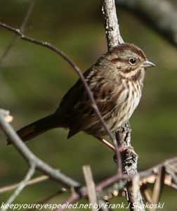 song sparrow in tree ranch
