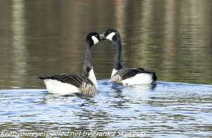 two canada geese on lake Irene