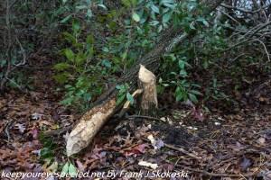 fallen tree chewed on by beavers