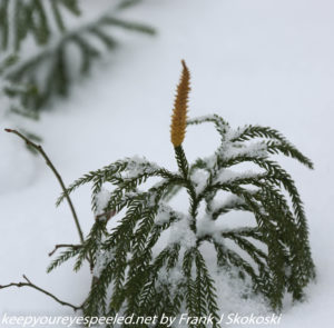 snow covered evergreen plant
