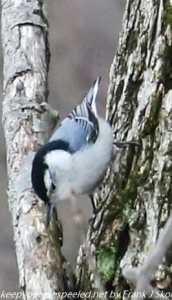 nuthatch on tree
