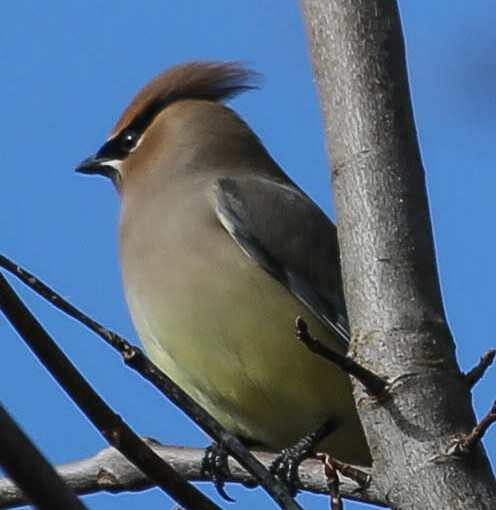 Cedar Waxwings And A Sign Of Spring At The PPl Wetlands