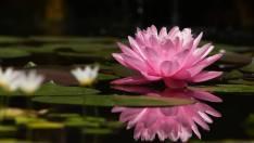 schone roze
