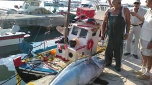 Ψαρεύτηκε τόνος 220 κιλά