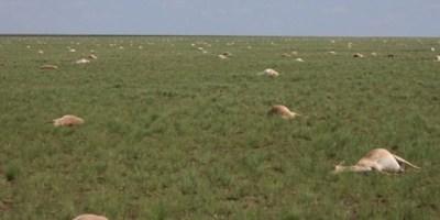Antelope deaths