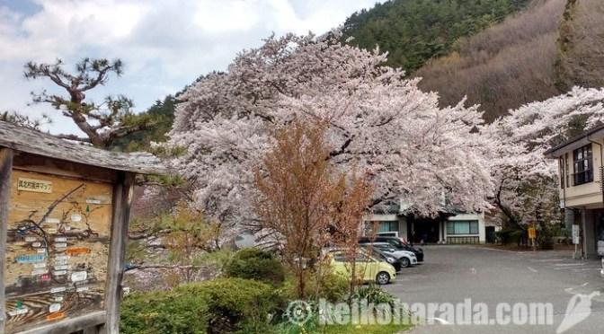桜と温泉と最終日