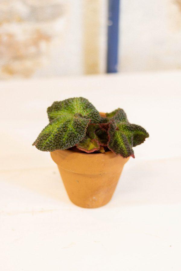 Begonia Rex soli mutata