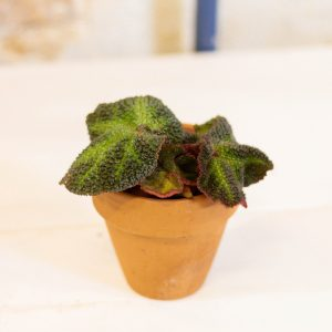 Begonia rex soli mutata plug plant