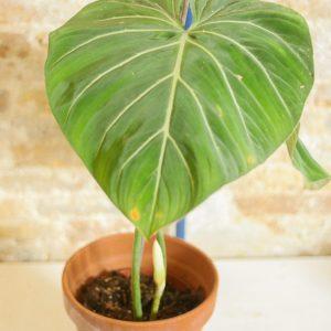 Philodendron Gloriosum A