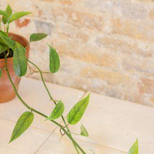 Epipremnum Pinnatum A (two longer vines)