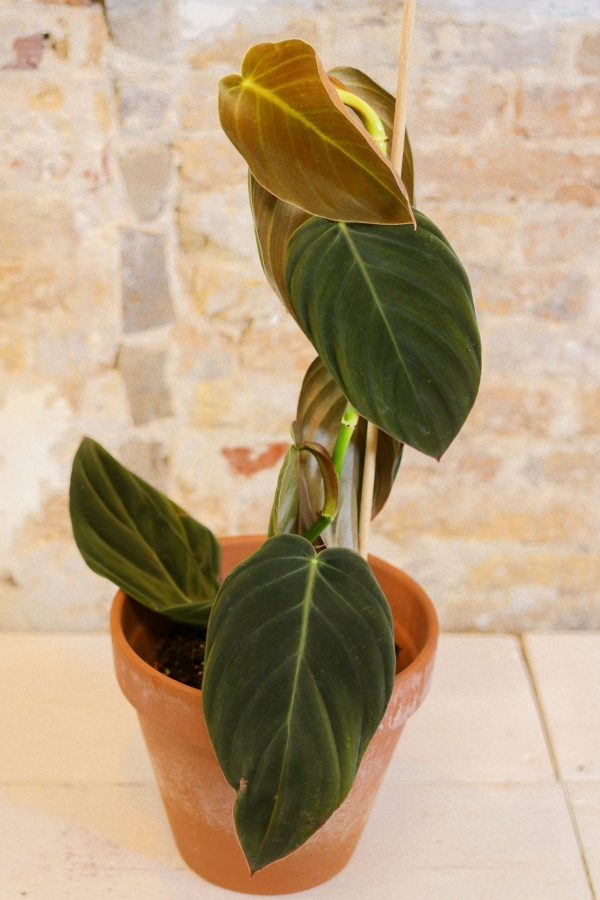 philodendron gigas, rare aroid