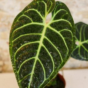 Anthurium regale L