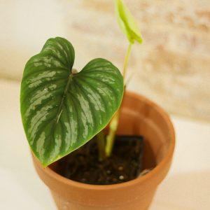 Philodendron Mamei E
