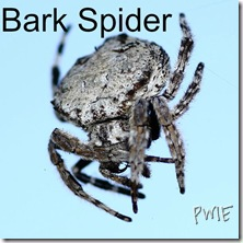 600px-Bark_Spider_2011 edited from picmonkey