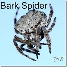 600px-Bark_Spider_2011 edited from picmonkey